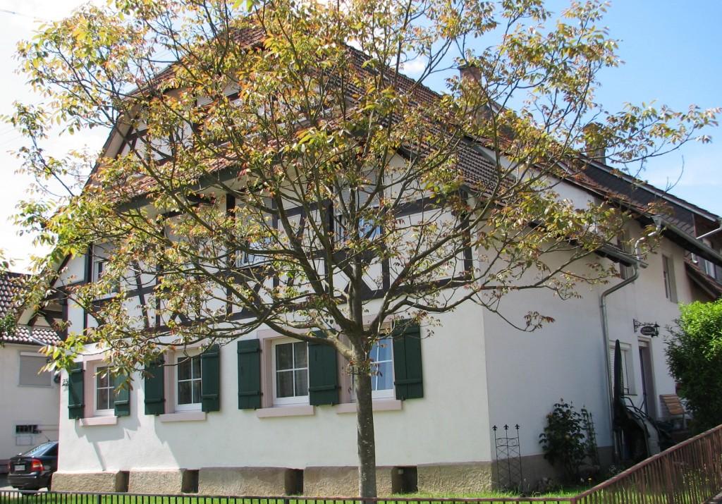 Walnussbaum vor dem Haus